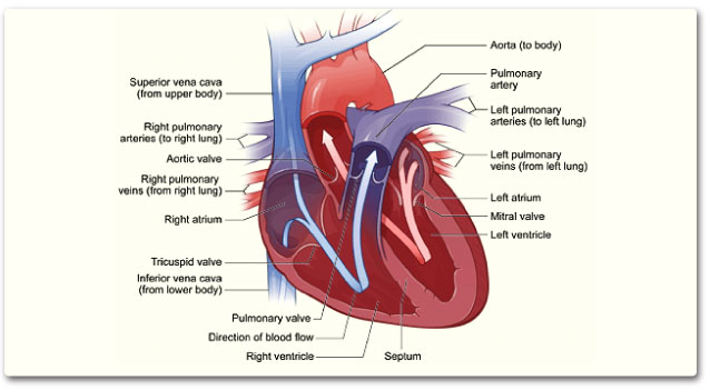 Diagram Of Your Heart Colorado Heart Vascular